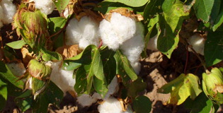 otton Futures Act, which imposes a prohibitive tax on cotton futures contracts that do not meet certain regulatory requirements, is enacted.