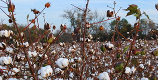 upreme Court declares the Cotton Futures Act unconstitutional on the grounds that it was a revenue bill that originated in the Senate rather than the House of Representatives.